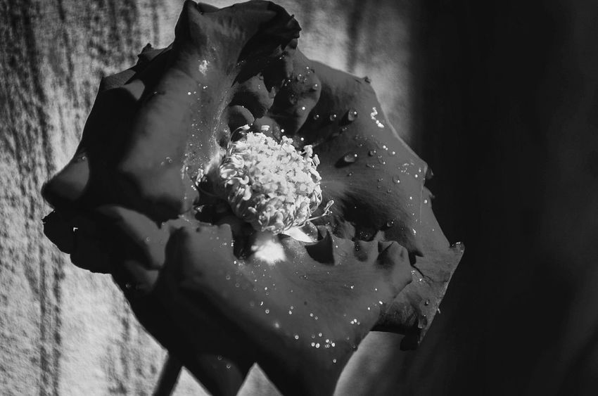 Beuityful Eyem Best Shots Rose🌹 Nature_collection Flowers_collection Blackandwhite Photographs Black&white Frist Time On EyeEm
