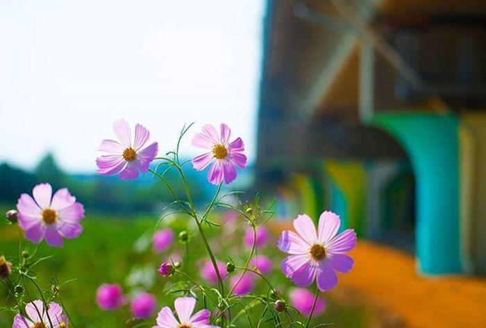 꽃 산책 코스모스 니콘D610 Nikond610 여행 일상 풍경 Travel Photographer_suhyeon Flower