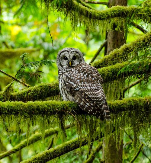 Owl perching on mossy tree