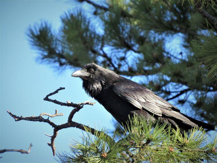 Bird Perching Tree Bird Of Prey Branch Vulture Full Length Animal Themes Sky Close-up Raven - Bird Crow Avian Blackbird Wildlife