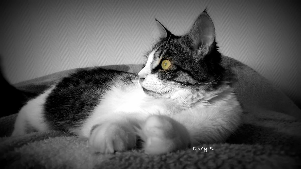 domestic cat, pets, domestic animals, animal themes, mammal, one animal, feline, indoors, cat, no people, relaxation, home interior, close-up, day