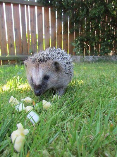 Cute♡ Animals Hedgehog