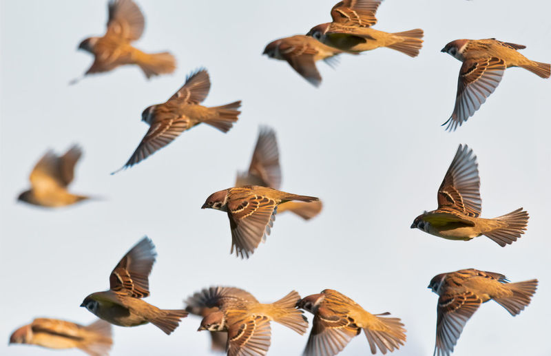 flock of house sparrows Flapping Brown Beauty In Nature Clear Sky Nature Flock Of Birds Day Sky Mid-air Low Angle View No People Spread Wings Bird Large Group Of Animals Vertebrate Animals In The Wild Animal Wildlife Animal Themes Animal Group Of Animals Flying Sparrow House Sparrow