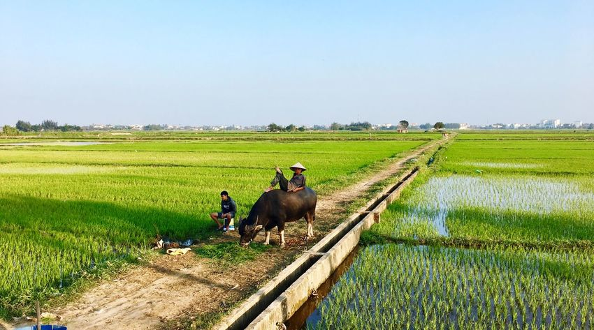 Man on Buffalo Field Agriculture Landscape Plant Sky Land Nature Rural Scene Clear Sky Beauty In Nature Farm Day Animal