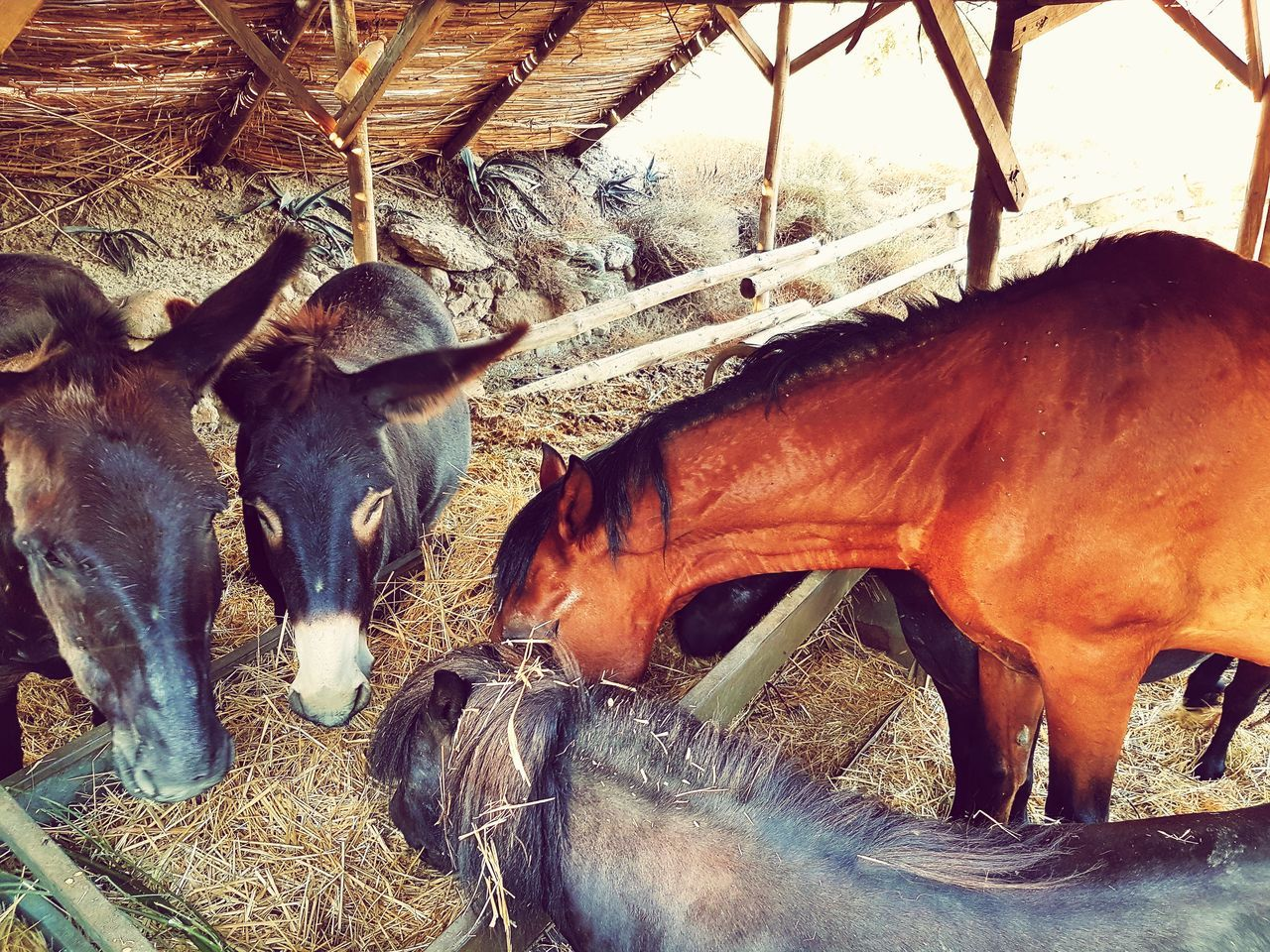 livestock, animal themes, mammal, domestic animals, cattle, cow, no people, day, barn, farm animal, indoors, nature, close-up
