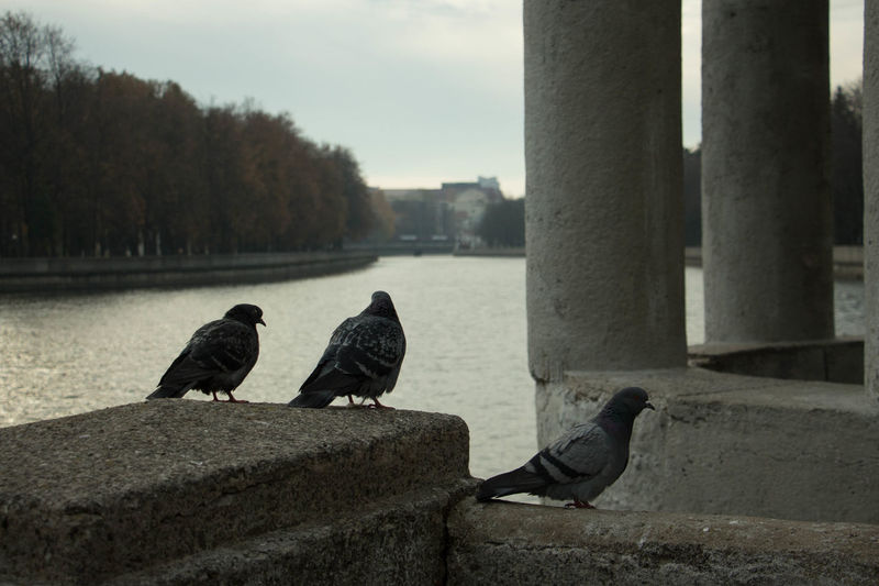 Birds Of EyeEm  Bird Photography Birds Pigeons River Riverside River Collection Day Nature Animal Wildlife Beauty In Nature Outdoors No People Togetherness Minsk,Belarus Minsk City Life City 3XSPUnity Black & White Black And White Photography Blackandwhite Photography Water Focus On Foreground