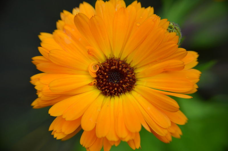 Beauty In Nature Blooming Close-up Day Flower Flower Head Fragility Freshness Growth Nature No People Outdoors Petal Plant Pollen Yellow Calendula Merigold