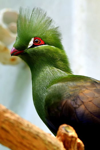 Turaco Bird Animal Themes Animal Wildlife Animals In The Wild Beauty In Nature Bird Bird Photography Close-up Colorful Day Green Nature No People One Animal Outdoors Tropical Birds Turaco