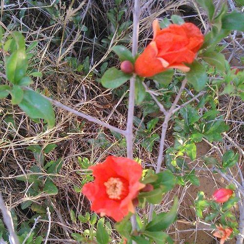 Pomegranate Pomegranates  جلفار رمان Grenade Grenades