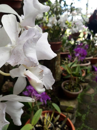 Orquideas❤ Beautiful Lankester Garden White Flower Flower Head Flower Petal Close-up Plant