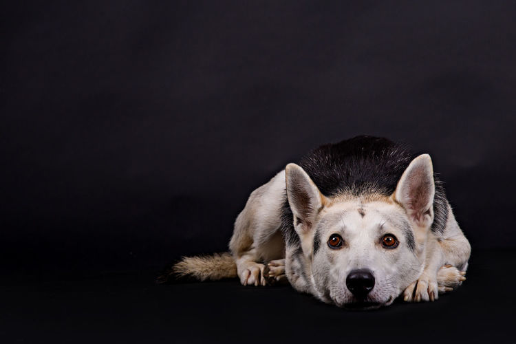 One Animal Animal Black Background Animal Themes Pets Dog Studio Shot Portrait Domestic Animals Animal Body Part Looking Animal Eye Purebred Dog No People Copy Space Relaxation Indoors