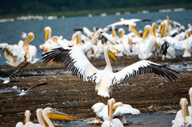 View of pelicans at lakeshore