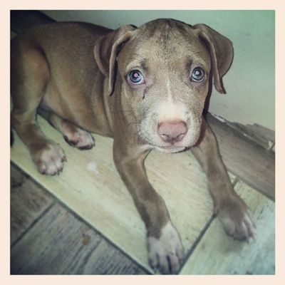 "Behold the beautiful ""Kesha"" the pit Pitbull Pitbulls Pitbullsofinstagram Pitbullsofig dogs InstaDogs dontbullymybreed"