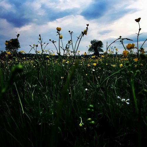 Plant Sky Growth Cloud - Sky Nature Beauty In Nature No People Field Land Grass Tranquility Flower Tranquil Scene Scenics - Nature Outdoors Day