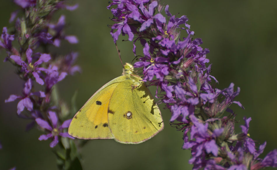 Colias croceus Colias Crocea Colias Croceus Butterflies Butterfly Butterfly - Insect Dark Clouded Yellow Insect Yellow