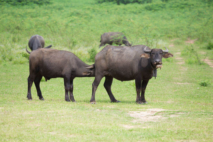 Buffalo Grass Field Animal Mammal Outdoor Horn Green Wildlife Water Thailand Cattle Nature Eating Wild ASIA Farm Bovine BIG Large Heavy Park Asian  Agriculture Rural Beast Thai Strong Tropical Thai Black Food Male Power Grazing Plant Water-buffalo Standing Harvest Fauna