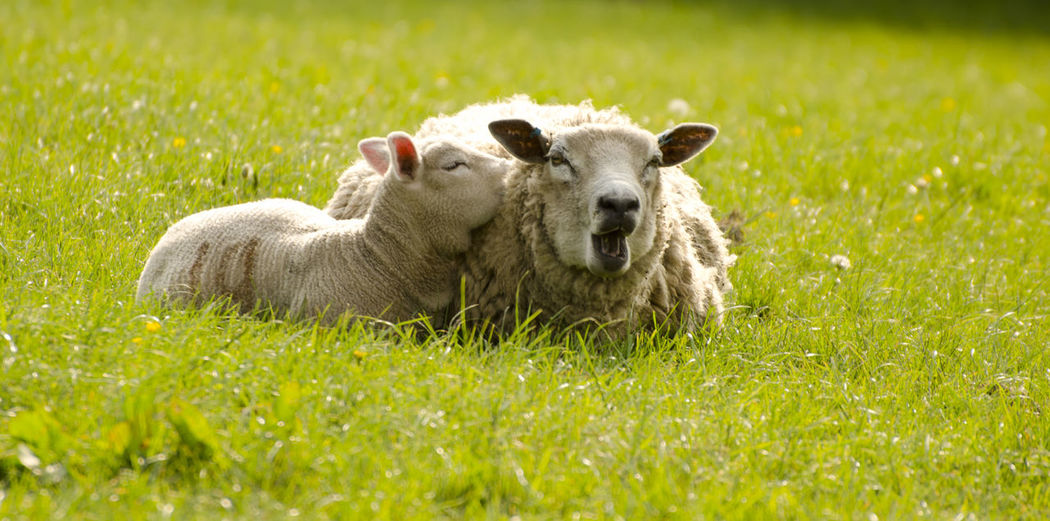 Grass Lamb Livestock Sheep🐑