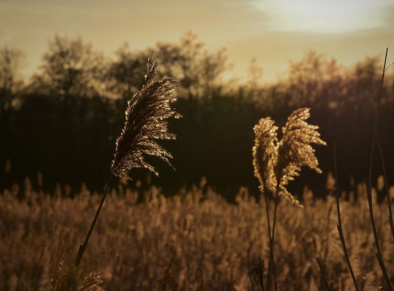 Overijssel Sunset Rietkraag Riet Close-up Landscape Outdoors No People Tranquil Scene Focus On Foreground Beauty In Nature Crop  Tranquility Agriculture Plant Nature Field Growth