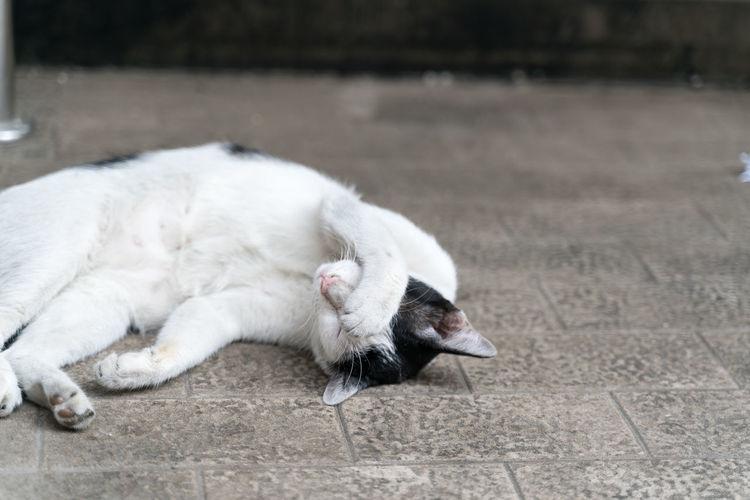 White cat sleeping on tiled floor
