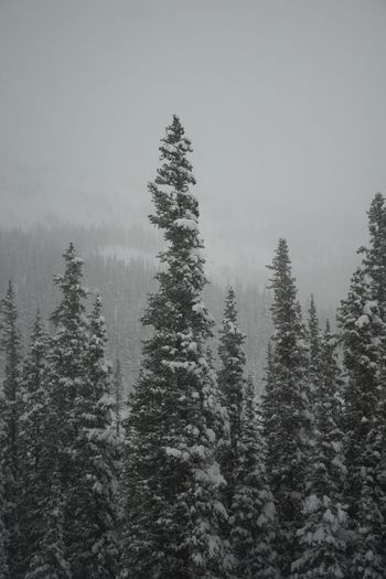 Beauty In Nature Cold Temperature Coniferous Tree Day Fog Forest Landscape Mountain Nature No People Outdoors Pinaceae Pine Tree Pine Woodland Scenics Sky Snow Snowing Tree Winter Winterpark Winterparkresort