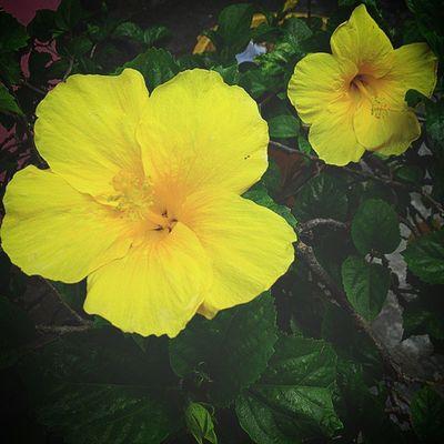 Bunga sepatu ~ Hibiscus Rosa - sinensis Bunga Flower Flowers Bungasepatu kuning yellow