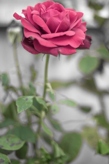 Flower Garden Roses Flower Flowering Plant Plant Beauty In Nature Freshness Close-up Fragility Petal Flower Head Rosé Rose - Flower Focus On Foreground No People Outdoors Nature
