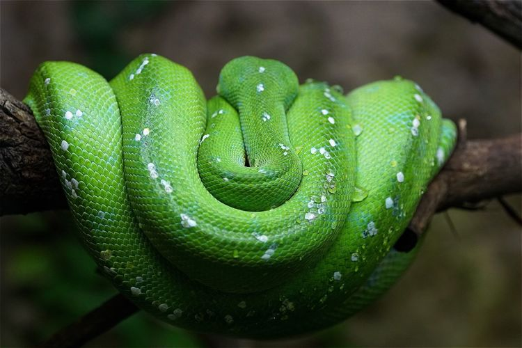 Green tree python on branch