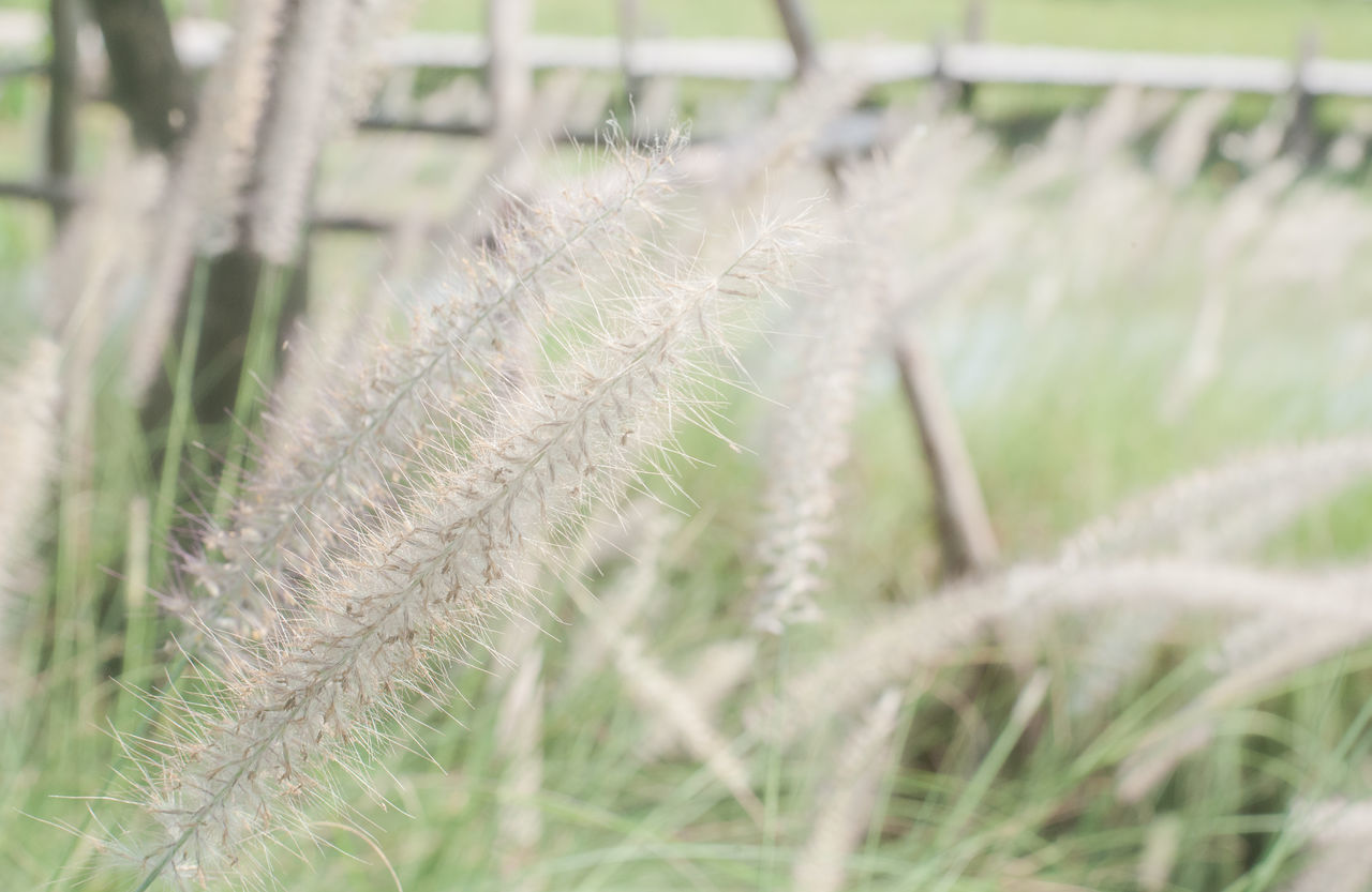plant, growth, beauty in nature, nature, no people, tranquility, day, close-up, focus on foreground, selective focus, field, grass, land, agriculture, outdoors, fragility, vulnerability, green color, crop, reed - grass family, timothy grass, softness