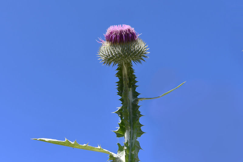 Low angle view of thistle against blue sky