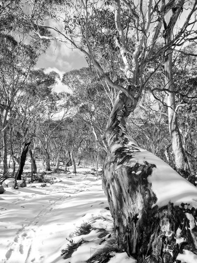 Snow Gums Australia Australian Landscape Beauty In Nature Blackandwhite Cold Temperature Day Growth Gum Trees Landscape Namadgi National Park Nature No People Outdoors Sand Scenics Shadow Sky Snow Tranquility Tree Tree Trunk Winter Canberra Landscape_Collection EyeEm New Here