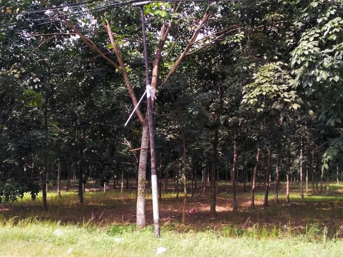 rubber tree Plant Tree Land Grass Nature Growth Field Day Tree Trunk Trunk No People Sunlight Tranquility Green Color Park Beauty In Nature Outdoors Landscape Fence