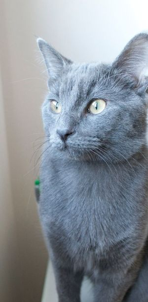 Nikonphotography Daytime Grey Kitten Green Eyes Portrait Animals Furry Eyeem Cat Portraits Cat 6 Months