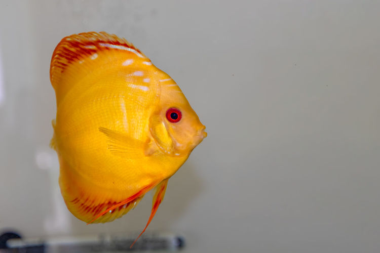 Fish Animal Vertebrate Indoors  Animal Themes Water Yellow Close-up One Animal Swimming Orange Color No People Animals In Captivity Gray Studio Shot Animals In The Wild Pets Transparent Sea Marine Mouth Open