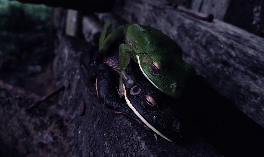 FROGS Close-up Animals In The Wild Animal Animal Wildlife Animal Themes One Animal No People Nature Day Focus On Foreground Vertebrate Rock Black Color Animal Body Part Rock - Object Solid Outdoors High Angle View Reptile Insect Animal Head  Animal Eye
