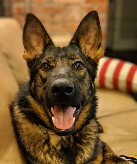 pretty girl My Pet Working Dog Pets Portrait Looking At Camera Dog German Shepherd Protruding Sitting Close-up Animal Tongue Purebred Dog Canine