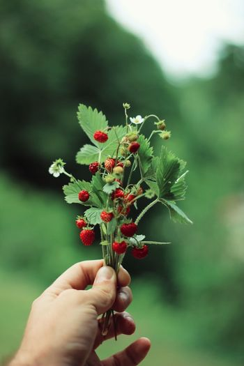 Close-up of hand holding berry plant