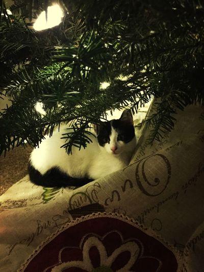 Her special spot. Christmas Kitten
