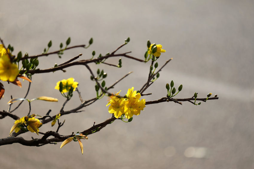 Springtime Beauty In Nature Blooming Branch Close-up Day Flower Flower Head Fragility Freshness Growth Hoa Mai Nature No People Outdoors Petal Plant Sky Springtime Tet Holiday Tree Yellow