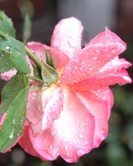 Morning Nature_collection Flower Drop Flowering Plant Plant Water Wet Beauty In Nature Pink Color Nature Close-up