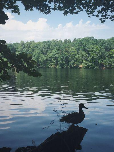 Duck Ente