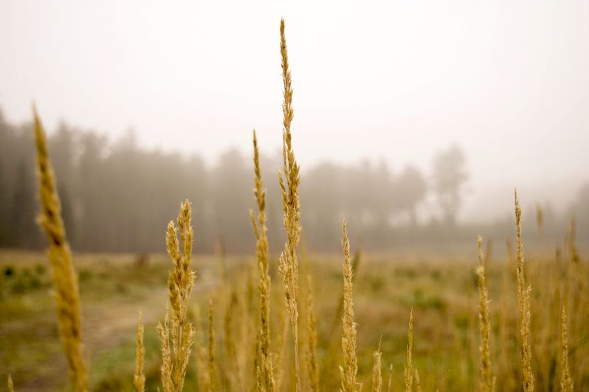 Golden grass on a foggy day Taking Photos Enjoying Life Outdoors Grass Field Tranquil Scene Nature Forest Fog Landscapes With WhiteWall