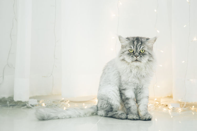Cute Persian cat or Chinchilla cat lying on the floor. Animal Themes Chinchilla Close-up Day Domestic Animals Domestic Cat Feline Indoors  Looking At Camera Mammal No People One Animal Persian Cat  Pets Portrait Sitting