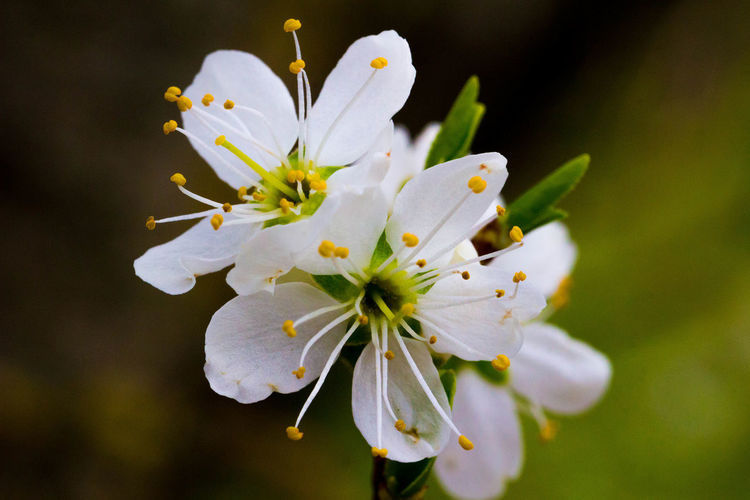 Spring. 🌼 Flower Flower Head Fleur Petals White Nature Naturelovers Blossom Blooming Spring Earth Plant Colorful Colors Canon Macro Macro Photography Photography Pretty Green Beautiful Home Serenity Wildlife Life Flower Head Flower Petal Close-up Plant