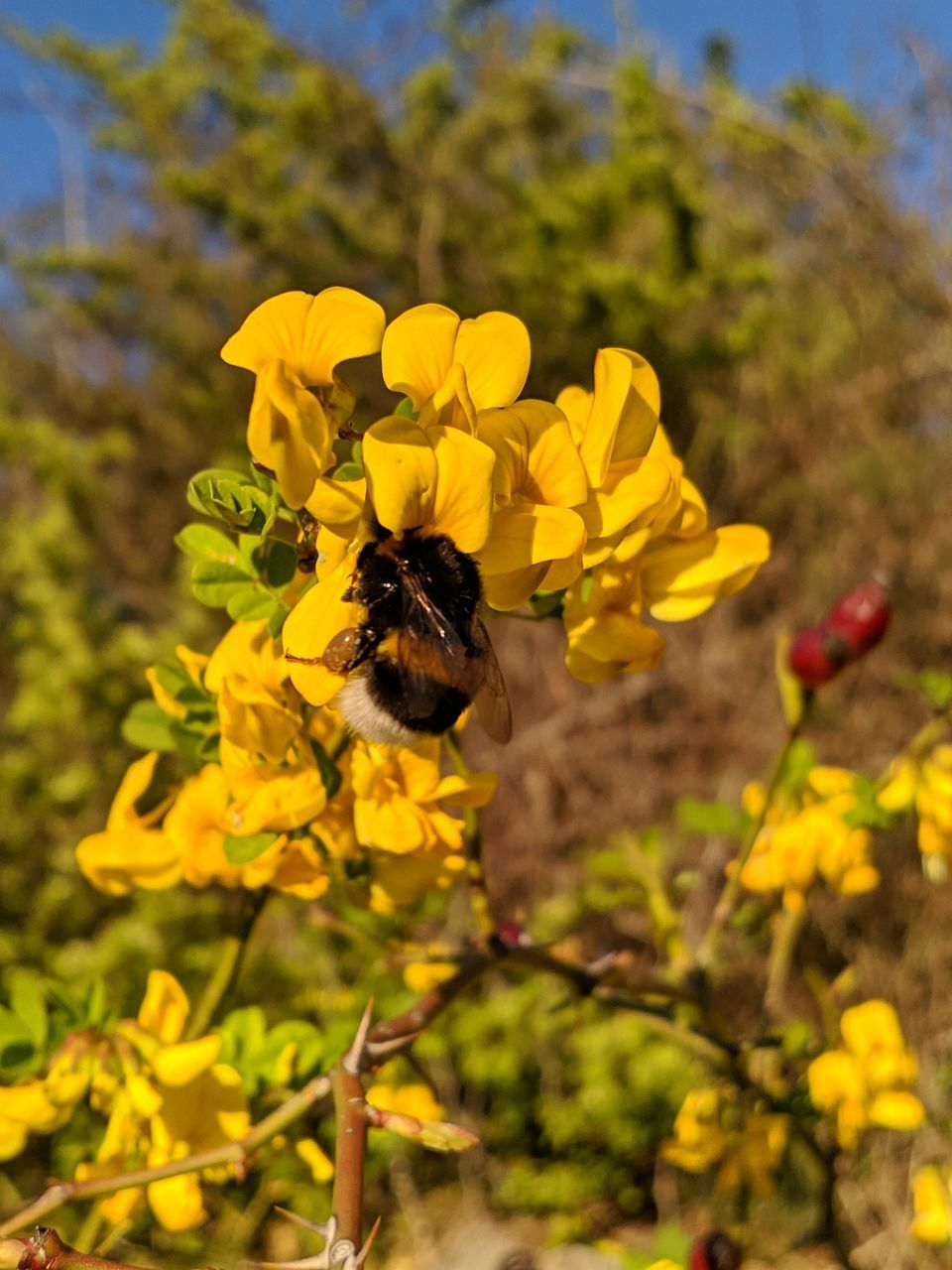 HONEY BEE POLLINATING ON YELLOW FLOWER