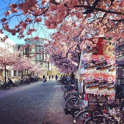 Uni Göttingen  Campus Spring cherry blossom bike tree colors instanature