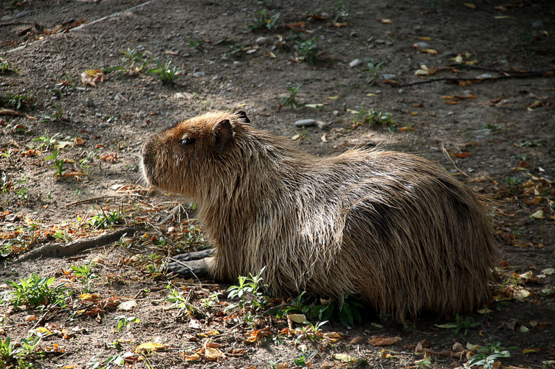 Capibara Animal Themes Animal Wildlife Animals In The Wild Day Mammal Nature No People One Animal Outdoors