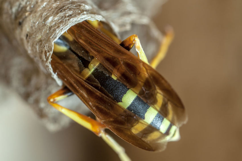 Paper Wasp building Nest Macro Photography Nesting Paper Wasp Animal Themes Close-up Day Food Macro Nest No People Oculii Paper Wasp Nest