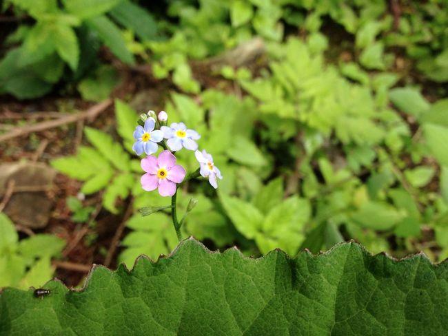 Forestflower Pinkflower Blueflower Greenleaves Littleflowers EyeEm Ready   Stamen Plant Life Blossom In Bloom Flowering Plant Pollen Petal Botany