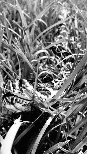 Plant Growth No People Grass Day Outdoors Nature Close-up Animal Themes Diamondback Rattlesnake Dangerous Animals Blackandwhite Close Enough EyeEm Nature Lover Beauty In Nature Animal Markings