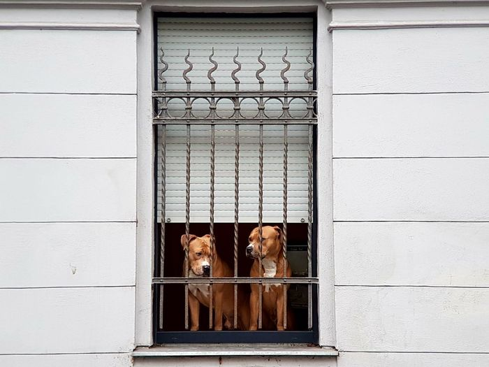 Window Background Cover Dogs Life Dog Collection Waiting Dogs Dog Behind Fence Dogs Of EyeEm Windows Window View Two Dogs Animal_collection Animal Photography Animals Dog Window Dog Life Dogs Trapped Dog Animal Themes Domestic Animals Pet Portraits